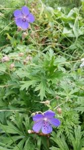kyläkurjenpolvi-geranium-pratense6