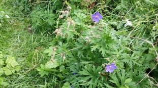 kyläkurjenpolvi-geranium-pratense7