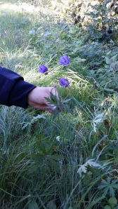 kyläkurjenpolvi-geranium-pratense