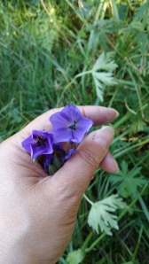 kyläkurjenpolvi-geranium-pratense2