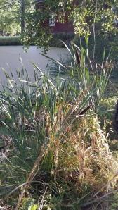 leveäosmankäämi-typha-latifolia2