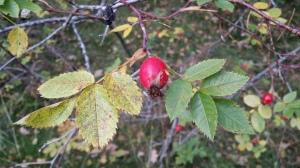 orjanruusu-rosa-dumalis