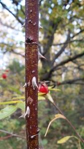 orjanruusu-rosa-dumalis4