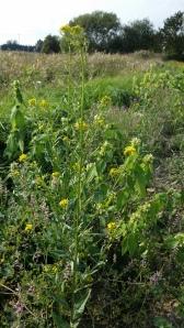 peltoukonnauris-erysimum-cheiranthoides2
