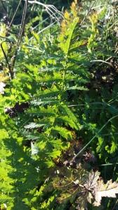 sikoangervo-filipendula-vulgaris
