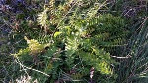 sikoangervo-filipendula-vulgaris2