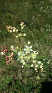 sikoangervo-filipendula-vulgaris3