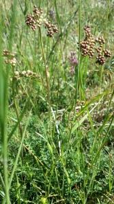 sikoangervo-filipendula-vulgaris5