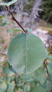 isotuomipihlaja-amelanchier-spicata