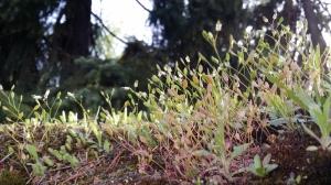 kevätkynsimö-erophila-verna7