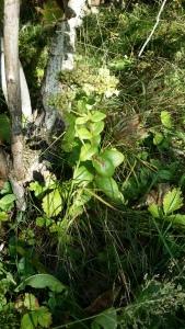 lännenisomaksaruoho-hylothelephium-telephium-ssp-maximum