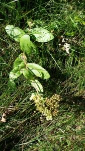 lännenisomaksaruoho-hylothelephium-telephium-ssp-maximum2