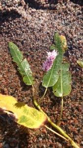 vesitatar-persicaria-amphibia1