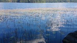 vesitatar-persicaria-amphibia4