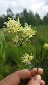 keltaängelmä-thalictrum-flavum