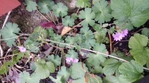 pyreneittenkurjenpolvi-geranium-pyrenaicum2
