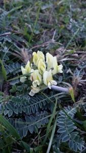 etelänkeulankärki-oxytropis-campestris-ssp-campestris