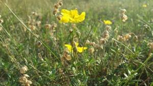 ketopäivännouto-helianthemum-nummularium-ssp-nummularium