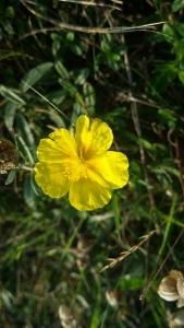 ketopäivännouto-helianthemum-nummularium-ssp-nummularium2