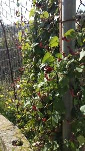 andalusianpiippuruoho-aristolochia-baetica2