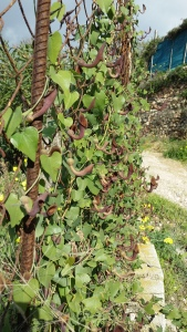 andalusianpiippuruoho-aristolochia-baetica5