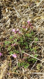 kangasajuruoho-thymus-serpyllum-ssp-serpyllum