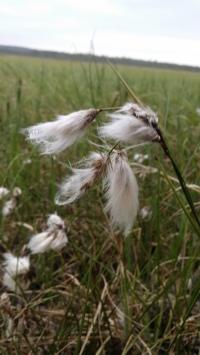 Lettovilla-eriophorum-latifolium2