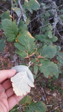 suomenpihlaja-sorbus-hybrida
