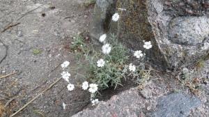 hopeahärkki-cerastium-tomentosum3