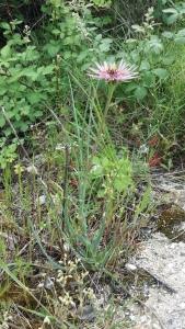 kaurajuuri-tragopogon-porrifolius2