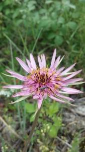 kaurajuuri-tragopogon-porrifolius3