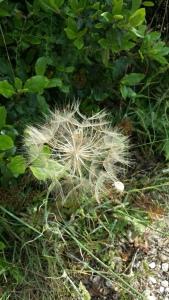 kaurajuuri-tragopogon-porrifolius5