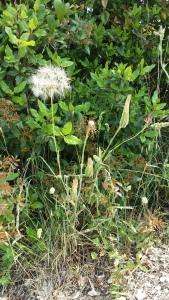 kaurajuuri-tragopogon-porrifolius6
