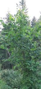 pähkinäpensas-corylus-avellana3