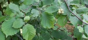 pähkinäpensas-corylus-avellana4