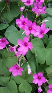 rusokäenkaali-oxalis-articulata