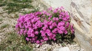 rusokäenkaali-oxalis-articulata5