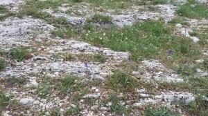 töyhtöhelmililja-muscari-comosum7