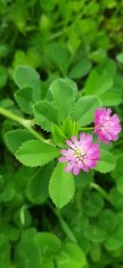 tuoksuapila-trifolium-resupinatum