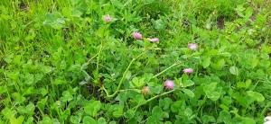tuoksuapila-trifolium-resupinatum2