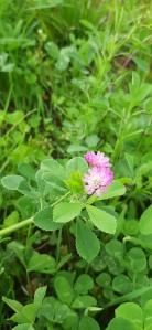 tuoksuapila-trifolium-resupinatum3