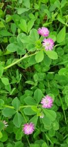tuoksuapila-trifolium-resupinatum4