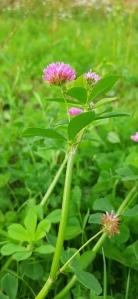 tuoksuapila-trifolium-resupinatum5