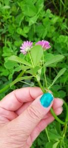 tuoksuapila-trifolium-resupinatum6