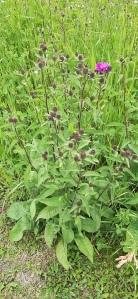 idännurmikaunokki-centaurea-phrygia-ssp-phrygia2